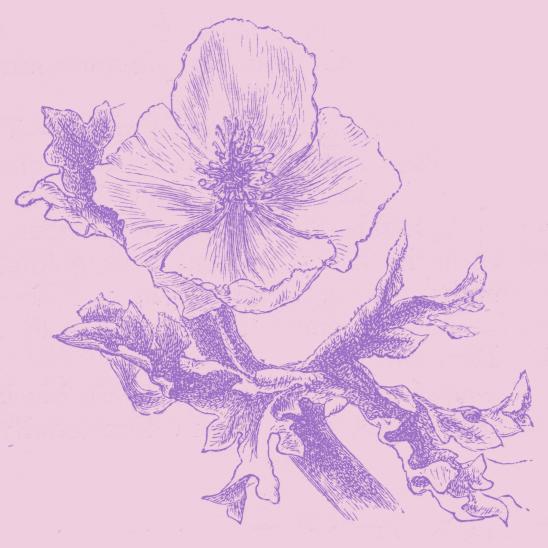 fleur rose parme